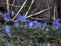 Cvetoči jetrniki