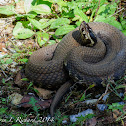 Cottonmouth (adult)