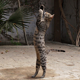 Ghoshu by Lalaji Anwar - Animals - Cats Playing