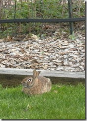 Spring 4-09 bunny