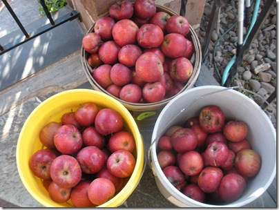 2010 apples 002