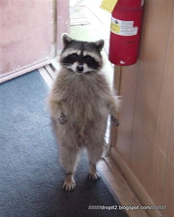 walking_raccoon1.jpg