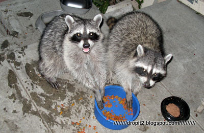 raccoon eating.jpg