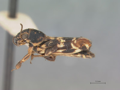 Ellipes minutus