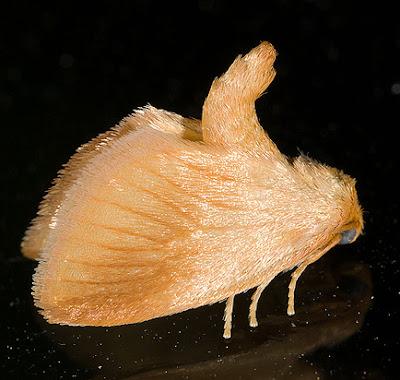 limacodid moth adult