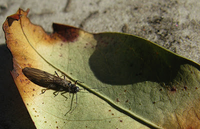 winter stonefly on leaf