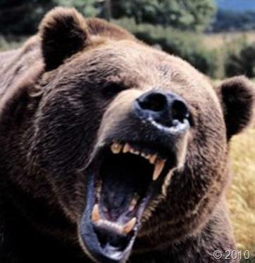 bear-attack-1