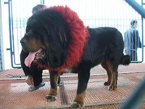 Çinin meşhur Tibet Mastifi.JPG