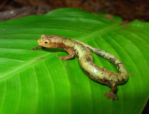 [World's Fastest Muscle (In the tongue of a salamander) 02[11].jpg]