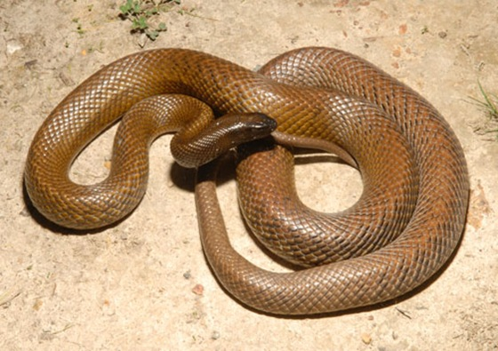 Inland Taipan