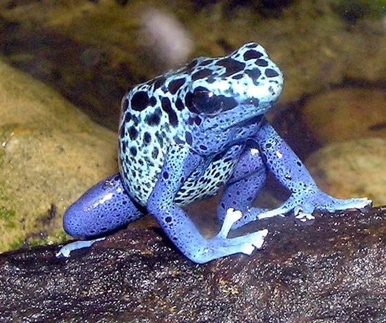 Poison Dart Frog