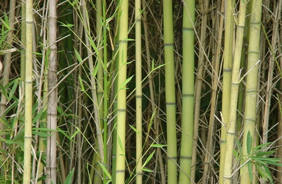bamboo_thicket