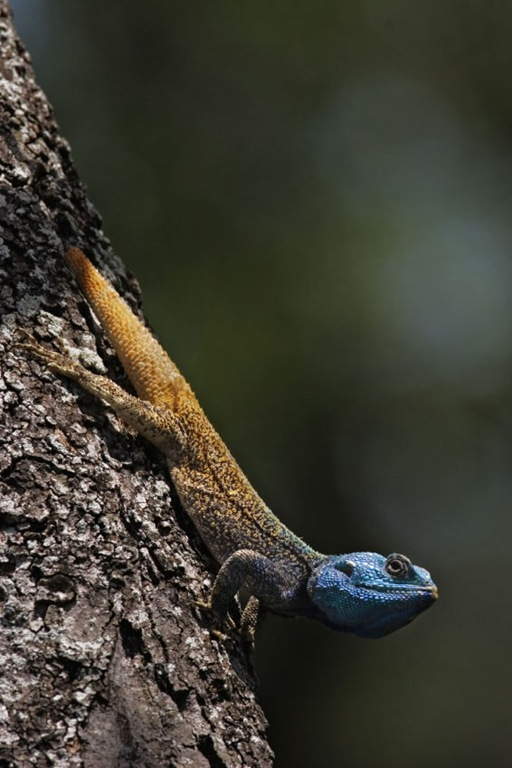 polygamous_blue_lizard