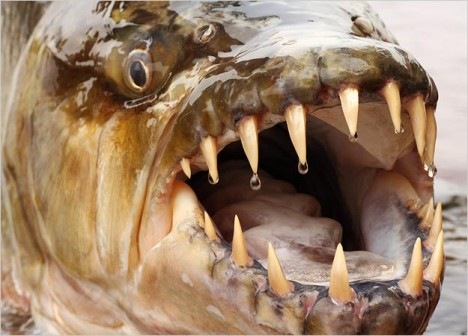 River Monster - Giant Piranha 04