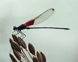 damselfly-picture