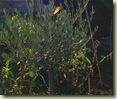 sun   olive 2_1