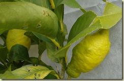 lemons_1_1_1
