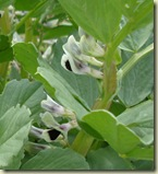 broad bean flowers_1