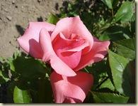 rose - pink 2_1_1
