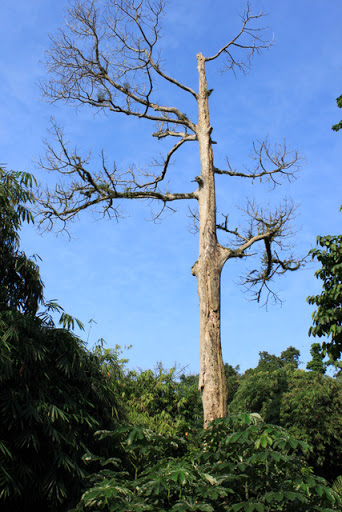 tree at Bogor botanical garden