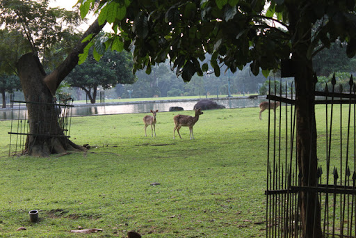 deer at Bogor