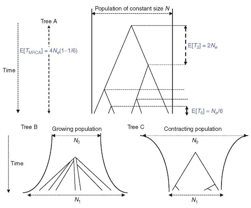 Coalescent trees. Tree A is the tree expected under a simple Wright-Fisher model (population size constant, no selection). Tree B is expected under a population growth. Tree C is expected under a model of population contraction