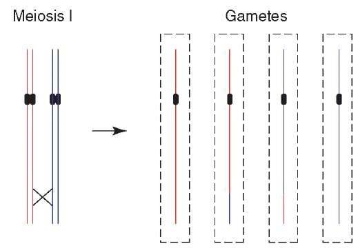 Schematic illustration of the relationship of a crossover, as viewed directly (as a chiasma or MLH1 focus) and the meiotic products (gametes). There are four chromatids, each a potential gamete, only two of which are recombinant