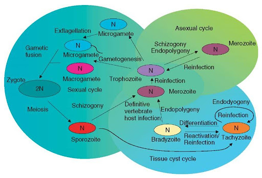 Apicomplexa asexual reproduction images