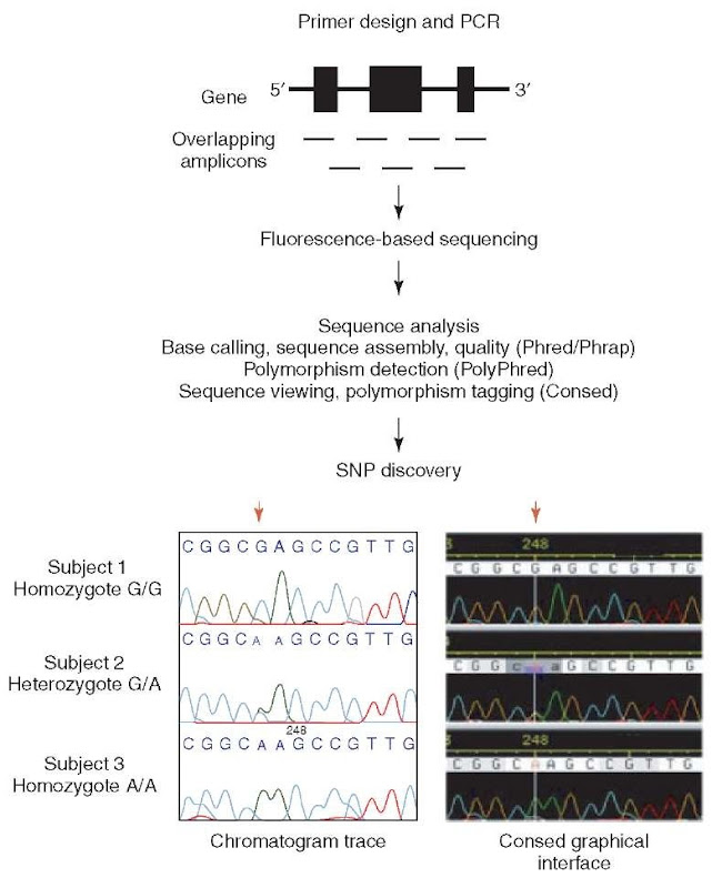 Targeted polymorphism discovery at candidate loci. PCR primers are designed to generate overlapping fragments (amplicons) of DNA to accommodate sequencing the entire gene of interest. Fluorescence-based sequencing generates chromatograms that are analyzed through the software package of choice to facilitate polymorphism discovery. Consed tags an SNP at position 248. A red arrow above both chromatogram views indicates the location of the discovered SNP. Subjects 1 and 3 are homozygous for nucleotide G and A, respectively. Subject 2 is determined to be heterozygote based on overlapping G and A traces that have approximately one-half the amplitude of either homozygote peak