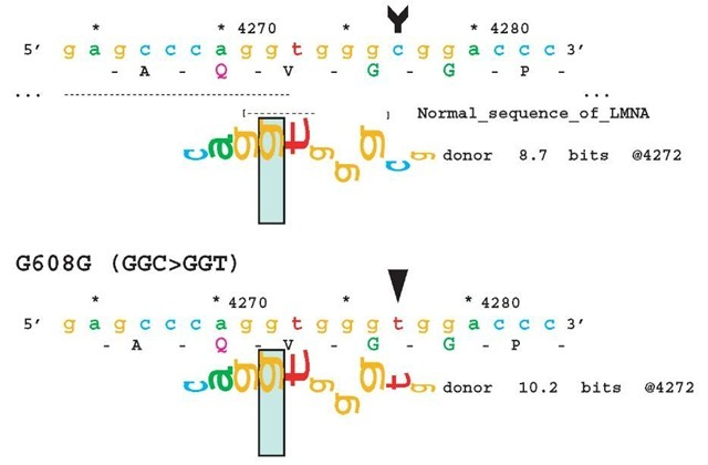 Examples of sequence walkers. A synonymous C > T substitution at codon 608 activates a cryptic donor splice site in exon 11, the LMNA gene in patients with Hutchinson-Gifford progeria (Eriksson et al., 2003). The walker, shown below the sequence, indicates a preexisting 8.7-bit cryptic site that is strengthened by the mutation to 10.2 bits (> 2.8-fold). The height and orientation of each nucleotide correspond to contribution that nucleotide makes to the overall information content in the binding site. The green rectangle indicates the location of valid splice site (Ri > 0) and delineates the scale displayed; the lower and upper limits shown are, respectively, —4 bits and +2 bits. Sequence coordinates are from GenBank accession L12401 (4277 C > T)