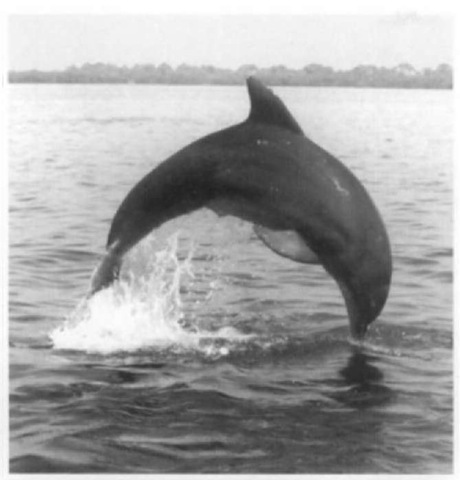 Bottlenose Dolphin Adaptations Common Bottlenose Dolphin