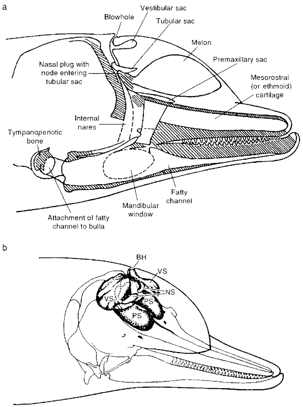 (a) Schematic of a dolphin's head (adapted from Norris, 1968) and (b) three-dimensional diagram of the air sacs in a dolphin's head. PS, premaxillanj sac; VS, vestibular sac; NS, nasofrontal (tubular) sac; AS, accessory sac.