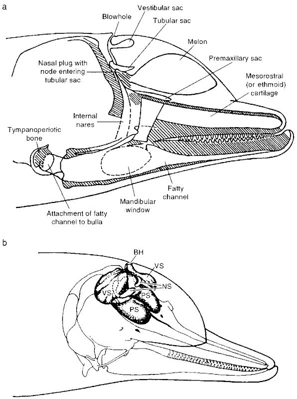 echolocation  marine mammals