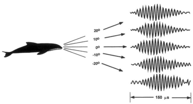 The waveform of an echolocation signal detected by hydrophones spaced about the head of a P. phocoena.