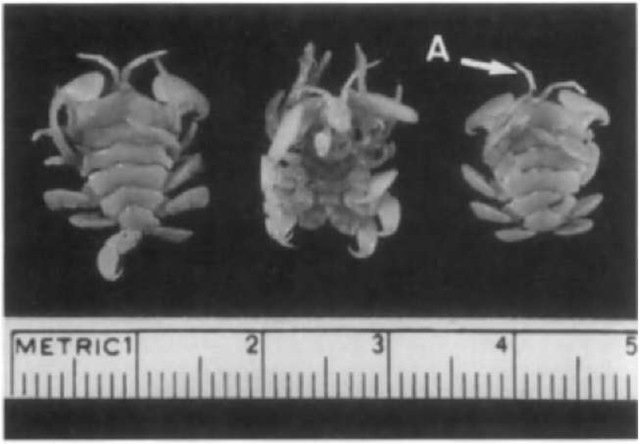 Three specimens of Cyamus ovalis showing ventral surface on center specimen. The head region faces the top. Note segmented body and antennae (A).