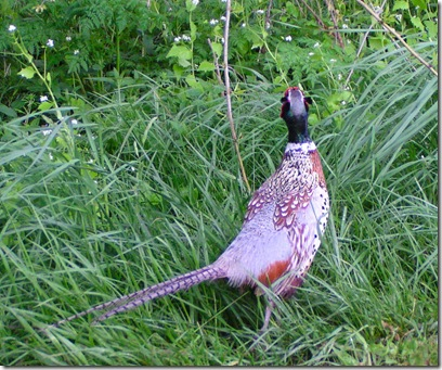 Goodbye Pheasant