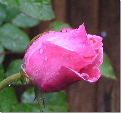 My rose bloom