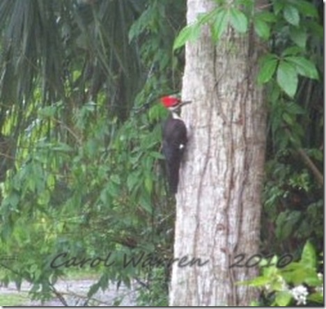 Pileated3cs
