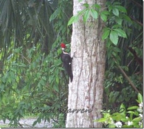 Pileated2cs