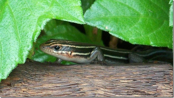 5 lined skink closeup