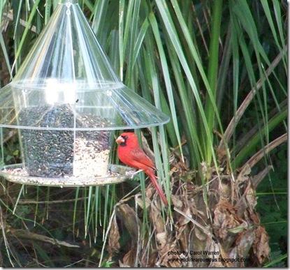 Cardinal 008cs