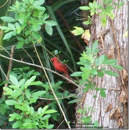 Cardinal 002cs