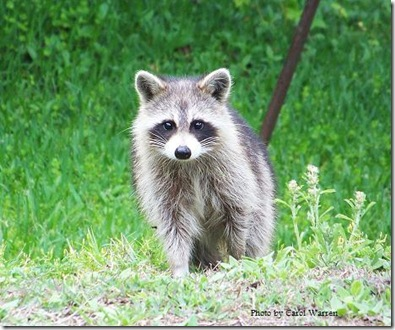 4.5.06 Raccoons 006c