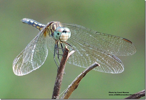 female Blue Dasher 071cs