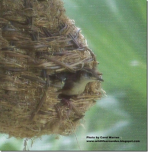 baby wrens fledging 042cs