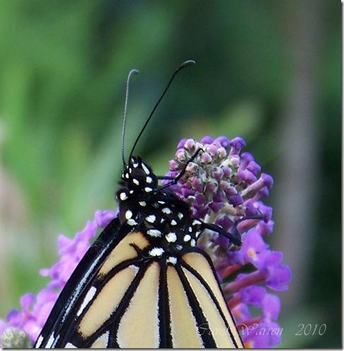 10.22.10 Butterfly #3 031cs