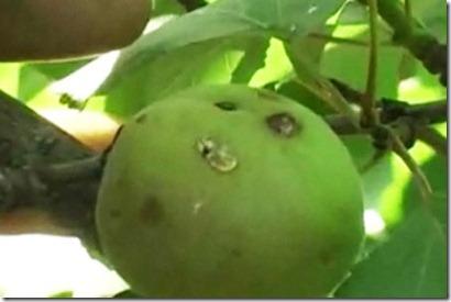 terzigno-frutta-buchi-1