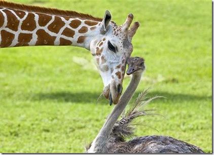 girafa_avestruz01