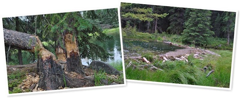 View beavers
