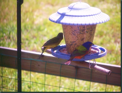 injured bird & painted buntings 006